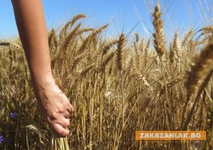 Няма да се стигне до криза с хлебната пшеница