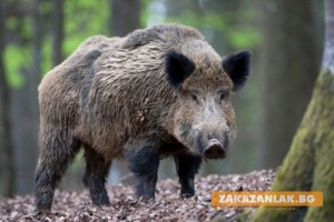 Почва групов лов на свине заради чумата