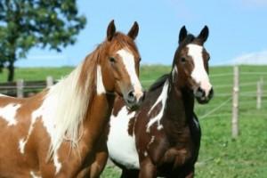 Крадци си набавиха кон и кобила от Манолово