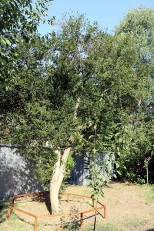 """200-годишен чимшир в Казанлък се бори за """"Дърво с корен"""""""