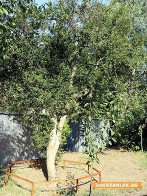 12 вековни дървета от Казанлъшко в националния регистър