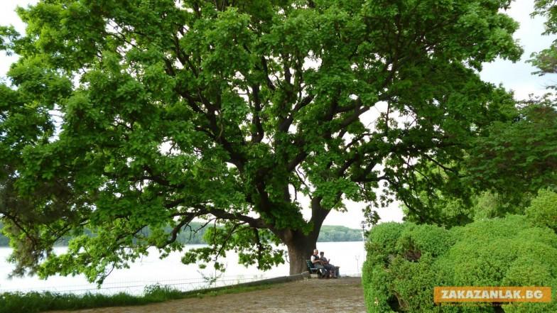 """Дъбът от Дунавския парк в  Силистра е 6-ти в  """"Европейско дърво на годината  2016"""""""