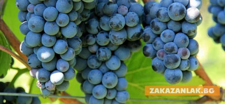 Министър открива гроздобера в Старозагорско
