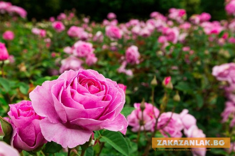 Научна конференция в Казанлък за маслодайната роза