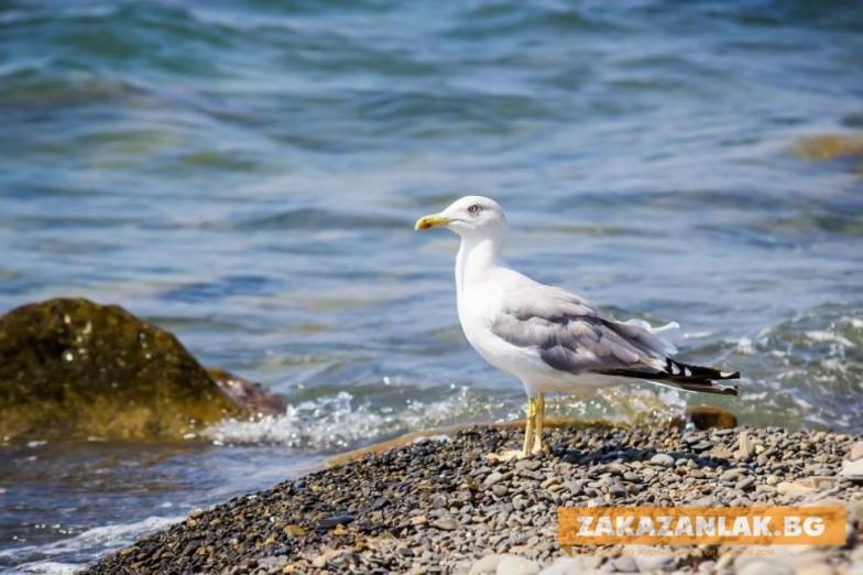 Защо гларусите спират да харесват морето и мигрират във вътрешността на страната?