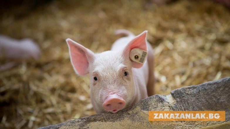 Над 5 милиона лева компенсации за собствениците на домашни прасета