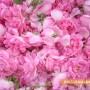 При обилни дъждове и по-ниски температури започна розовата кампания
