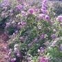 Откраднаха 10 000 резници маслодайна роза