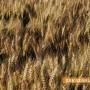 Критична ситуация с пшеницата