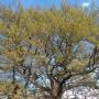 """300-годишен дъб представя България в  """"Европейско дърво на годината 2019"""""""