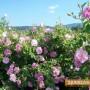 Отлага ли се второто четене на Закона за маслодайната роза?