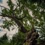 """500-годишен дъб спечели титлата """"Дърво с корен 2019"""""""