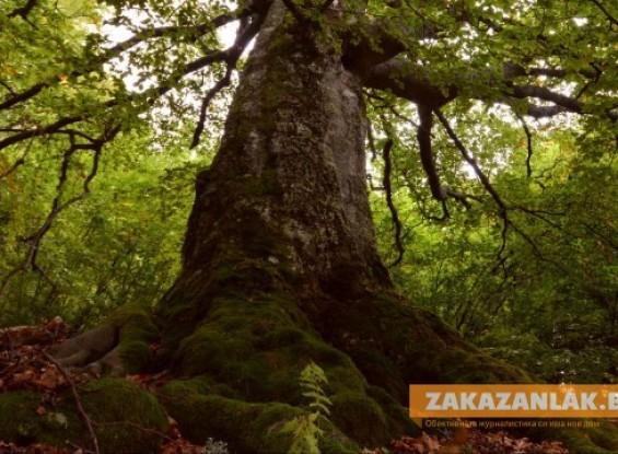 """Вековните букови гори в """"Централен Балкан"""" включени  в ЮНЕСКО"""