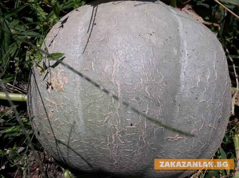 Тикви шампионки отгледаха в полите на Средна гора