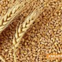Реколтата от хлебна пшеница е достатъчна