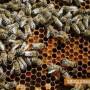 Измират пчелите