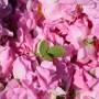 Закон за розата ще има, ще се чуят и дребните розопроизводители