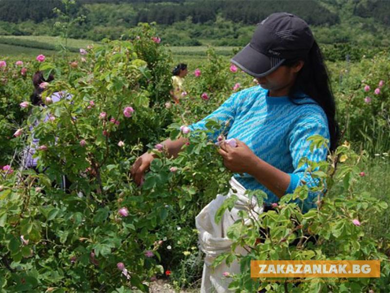Късна и къса кампания очакват розопроизводителите