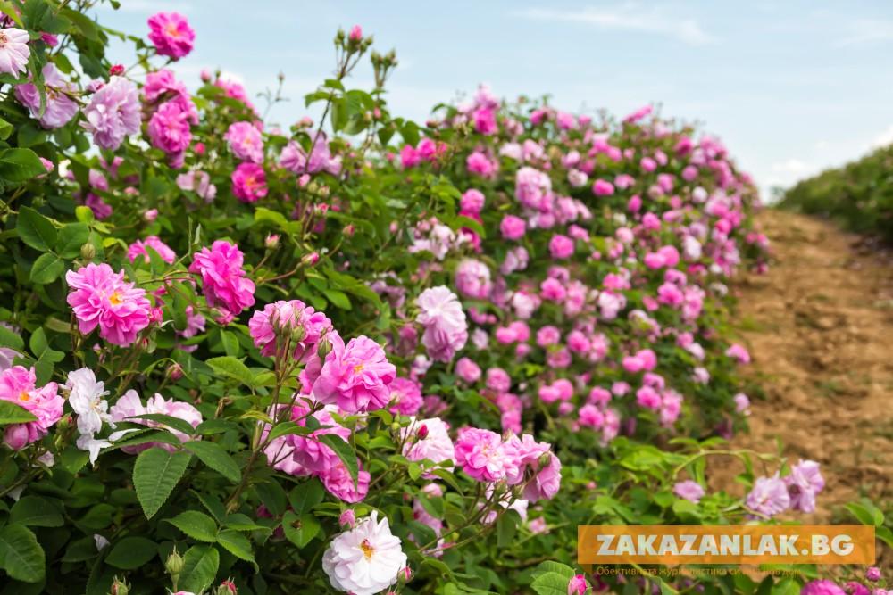 Заявени са над 21 хиляди декара с маслодайна роза