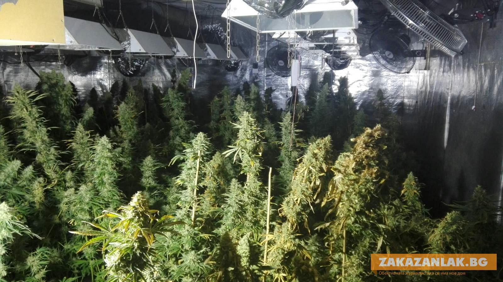 Обновена: Откриха наркооранжерия в Шипка